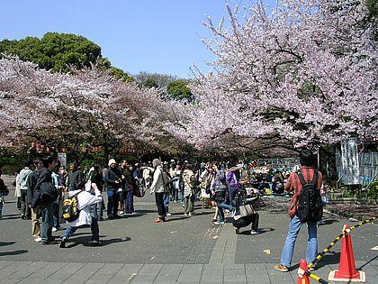 Kirschblüte im Ueno-Park